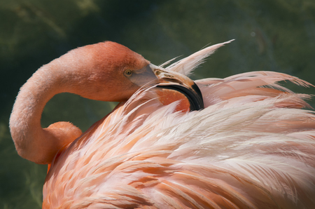 A Flamingo searches its feathers for parasites in a bird park located in Scotland Neck,North Carolina Stockfoto