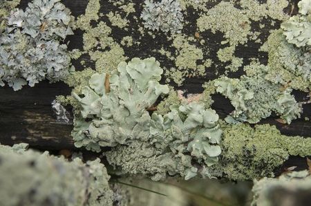 Lichens and moss cover a wooden fence in a yard in Wickford Rhode ,Isladn