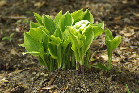 Hostas in bloom in the spring in New Bern North Carolina