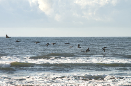A flock of Pelicians skim the waves for an early morning meal.,off the shore of Emerald Isle, North Carolina