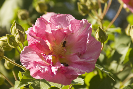 Honeybees gather nectar from a Confederate Rose Blossom