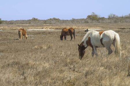 Three wild ponies graze the marsh grass on Asataque Island Reklamní fotografie