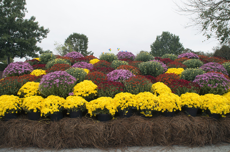 A group of Chrysanthemums on display at Mumfest in New Bern North Carolina Stockfoto
