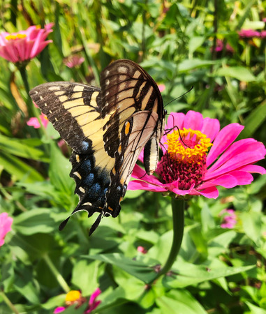 A Swalltail Butterfly enjoys a meal from a Zinnia in a flower garden in Eastern North Carolina