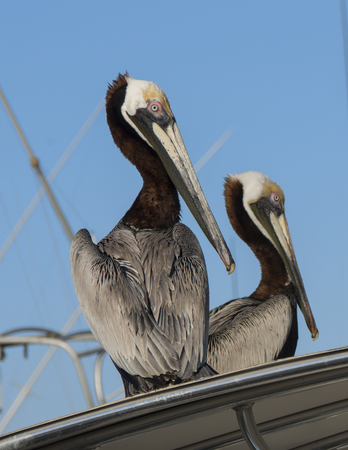 Two Pelicans watch for food at a dock in Port Canaveral Florida Stockfoto
