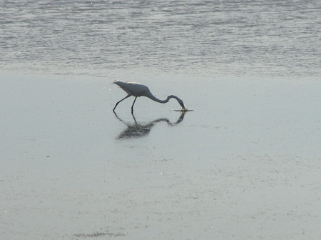 A White Heron secures a meal while patroling the waters of the Bouge Sound in Salter Path ,North Carolina Stockfoto