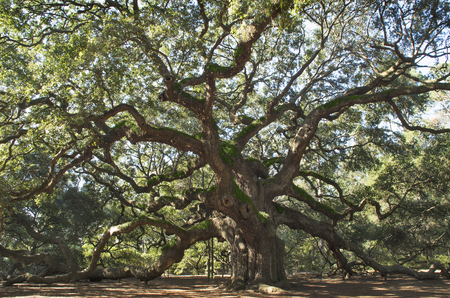 The Angel Oak Tree stands against the elements in a park in Charleston South Carolina