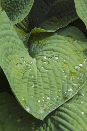A Hosta glistens in a garden after a spring shower in Wickford ,Rhode Island Stockfoto