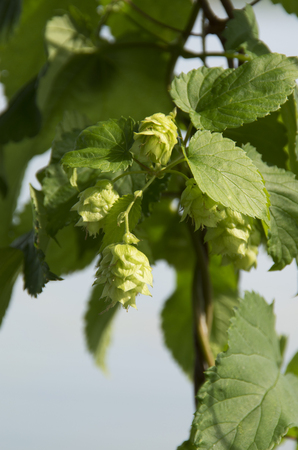 Hops growing ready for beer making Stockfoto