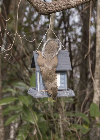 A squirrel is caught in the act of stealing bird seed out of a bird feeder in New Bern,North Carolina