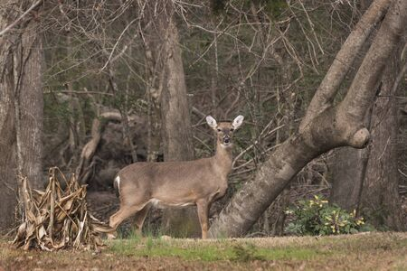 A Doe stands at alert watching over a herd of deer in a residential neighboorhood in Eastern North Carolina