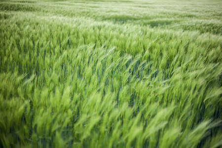 starvation: Green wheat field
