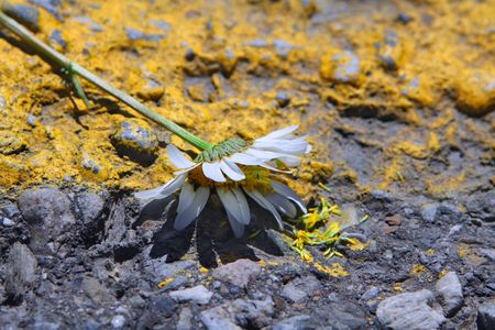 trampled: White flower trampled on highway Stock Photo