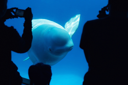field study: Tourists observing a beluga whale