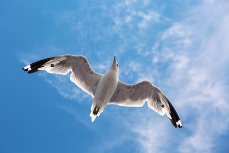limitless: Seagull flying in the blue sky  Stock Photo