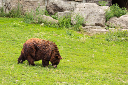 eyes cave: Grizzly bear walking in green field