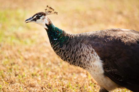 peahen: Daytime side view of a peacock