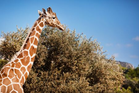 Close Up of an African Giraffe Shot at Daytime