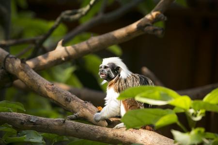 Cotton Headed monkey in trees Stock Photo