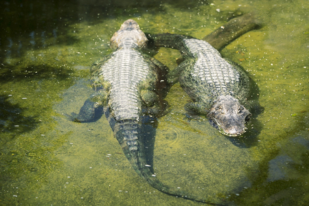 Two Caiman Crocodilians in the water Stock Photo