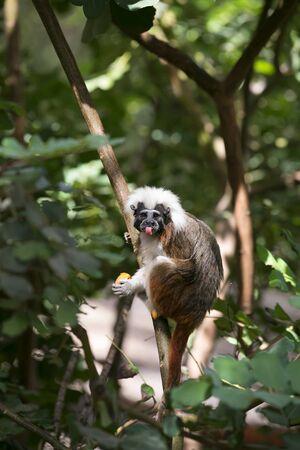 headed: Cotton Headed monkey in trees Stock Photo