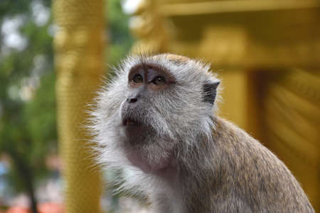 Portrait of a crab-eating macaque, Macaca fascicularis, also known as the long-tailed macaque at the staircases of Batu Caves behind the giant, golden Murugan statue in Malaysia