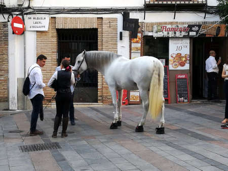 Cordoba, Spain, 07.13.2017: A beautiful white Andalusian horse, the Andalusian, or also known as the Pure Spanish Horse walking on the narrow streets of Cordoba in Spain