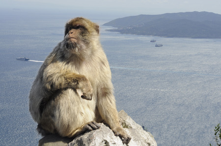 apes: Gibraltar apes: the only wild living apes in Europe and view on Gibraltar bay in the background.