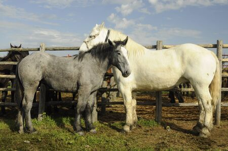 togheter: A white and gray horses rubbing togheter Stock Photo