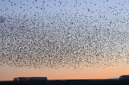 Migration of a large flock of birds on the highway