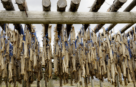 boned: Production of dried cod in Iceland. Stock Photo