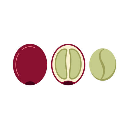 Coffee berry in section and without skin and pulp icon set isolated on white background. Fresh green coffee beans - arabica, robusta. Vector flat design cartoon style drink ingredient illustration.