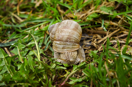 edible snail: Closeup view of a snail with dandelion leaves and grass in the garden on a spring day after rain Stock Photo