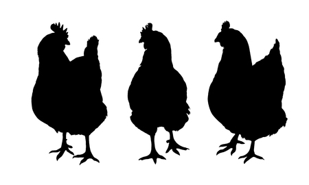 Set of three black silhouettes of realistic hens and chickens Pecking standing and walking isolated on white background - vector