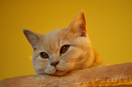 Still life with a detail of a young orange British cat with big copper eyes and short hair