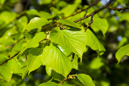 Closeup view of young green leaves of linden tree after rain under sunshine Foto de archivo