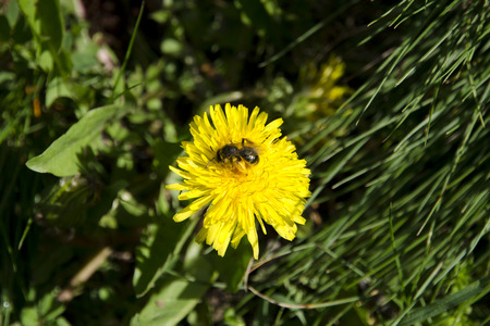 A close-up view of a bee on a dandelion collecting pollen on a sunny spring day