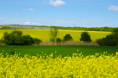 canola: View of a field of rapeseed and meadow under a blue sky on a sunny spring day