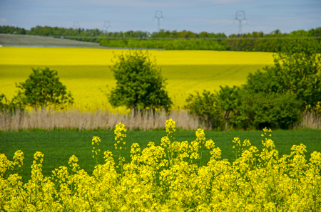 View of rape field with landscape with trees and young grain under blue sky on a sunny spring day Stock Photo