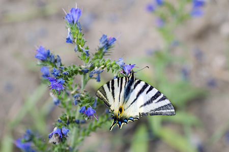 Detailed view of a butterfly - Iphiclides podalirius on a flower of Symphytum officinale Stock Photo