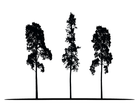 Set of vector silhouettes of high coniferous trees isolated on white background