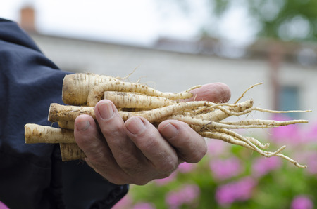 Close-up photo of a hand with fingers holding a bunch of parsley roots with a blurred background