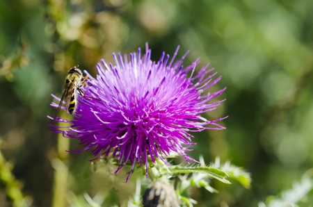 Closeup of a photo of a wasp sitting on a thistle flower on a sunny day on a meadow with a blurred grass background