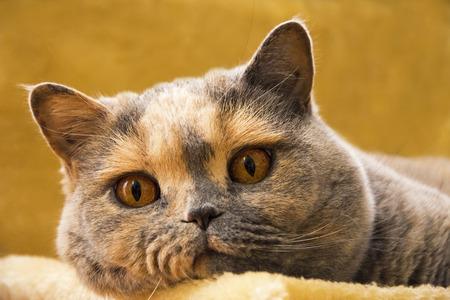 Close-up photo of a British shorthair cat lying on an orange sofa