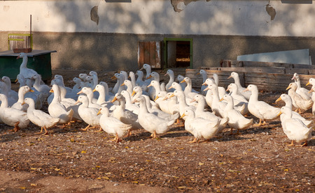 View of a flock of white goose on a poultry farm near a building in evening sunshine