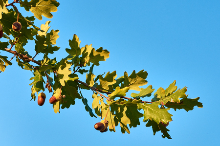Close-up view of three acorns on oak tree between green leaf, under clear blue sky, with space for text