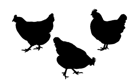 Set realistic silhouettes of three hens or chickens, pecking and walking - vector