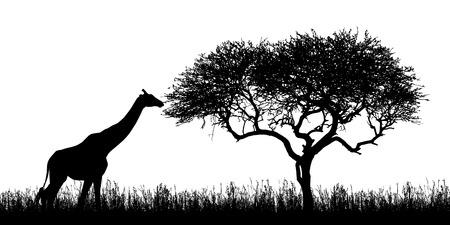 Illustration von Giraffen-Silhouetten und Akazie mit Gras in der afrikanischen Safari in Kenia - isoliert auf weißem Hintergrund - Vektor Vektorgrafik