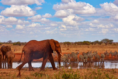 An herd of elephants is savage and pounding in safari in kenya - Africa. Trees and grass.