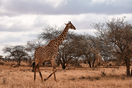 Giraffe goes to Safari in Africa. Trees, animals and landscape in Kenya.
